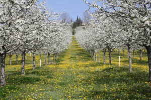 Ferme-du-Plessis-Vergers-en-fleur-Saint-Aubin